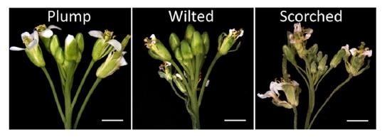 【派森诺项目文章荣登molecular plant】spl家族转录因子参与拟南芥花